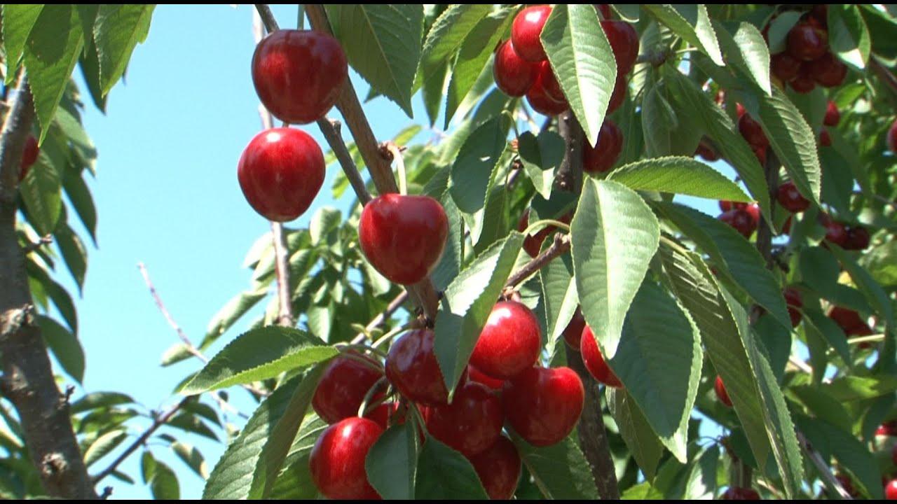 cseresznye giardiasis esetén