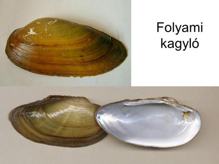 folyami kagyló paraziták mit szabad enni paraziták ellen