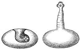 nevezze meg a törpe galandféreg köztes gazdáit