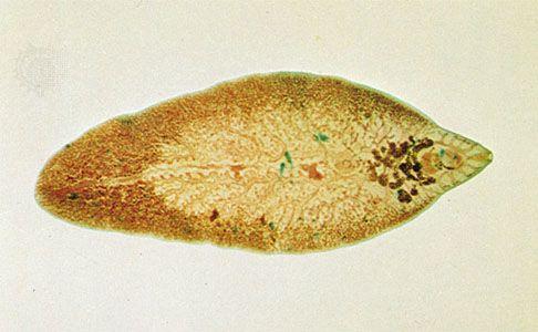 típusú táplálékparaziták