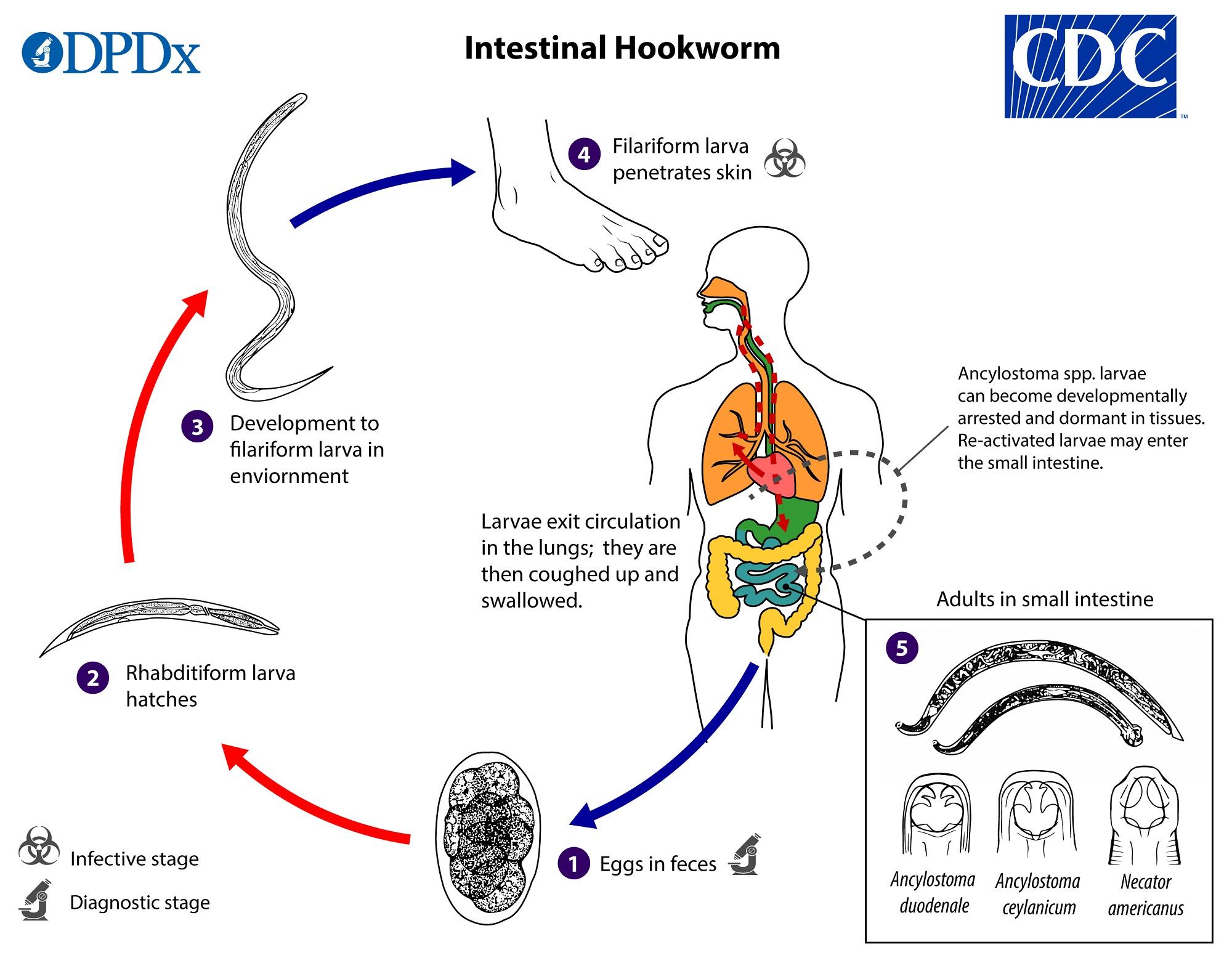 Klinikai vizsgálatok a Nematóda fertőzések