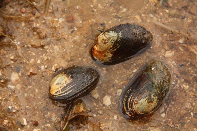 folyami kagyló paraziták a legjobb parazitaellenes szer a család számára