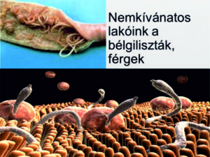 laposféreg parazita az emberben