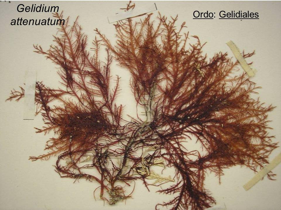 Scots Pine (Pinus Sylvestris), Aromás Rügyek 💫 A Helyszín A Gyakorlati Kertészeti.