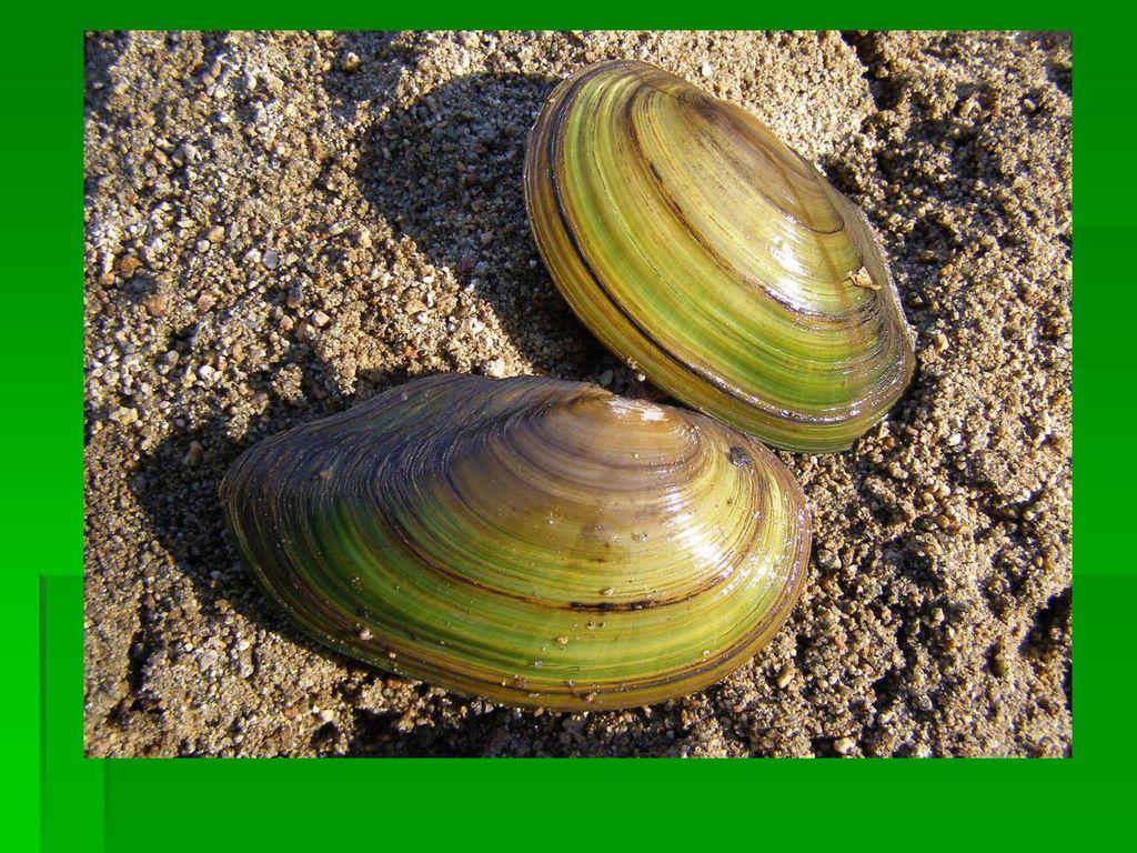 folyami kagyló paraziták paraziták a női szerveken