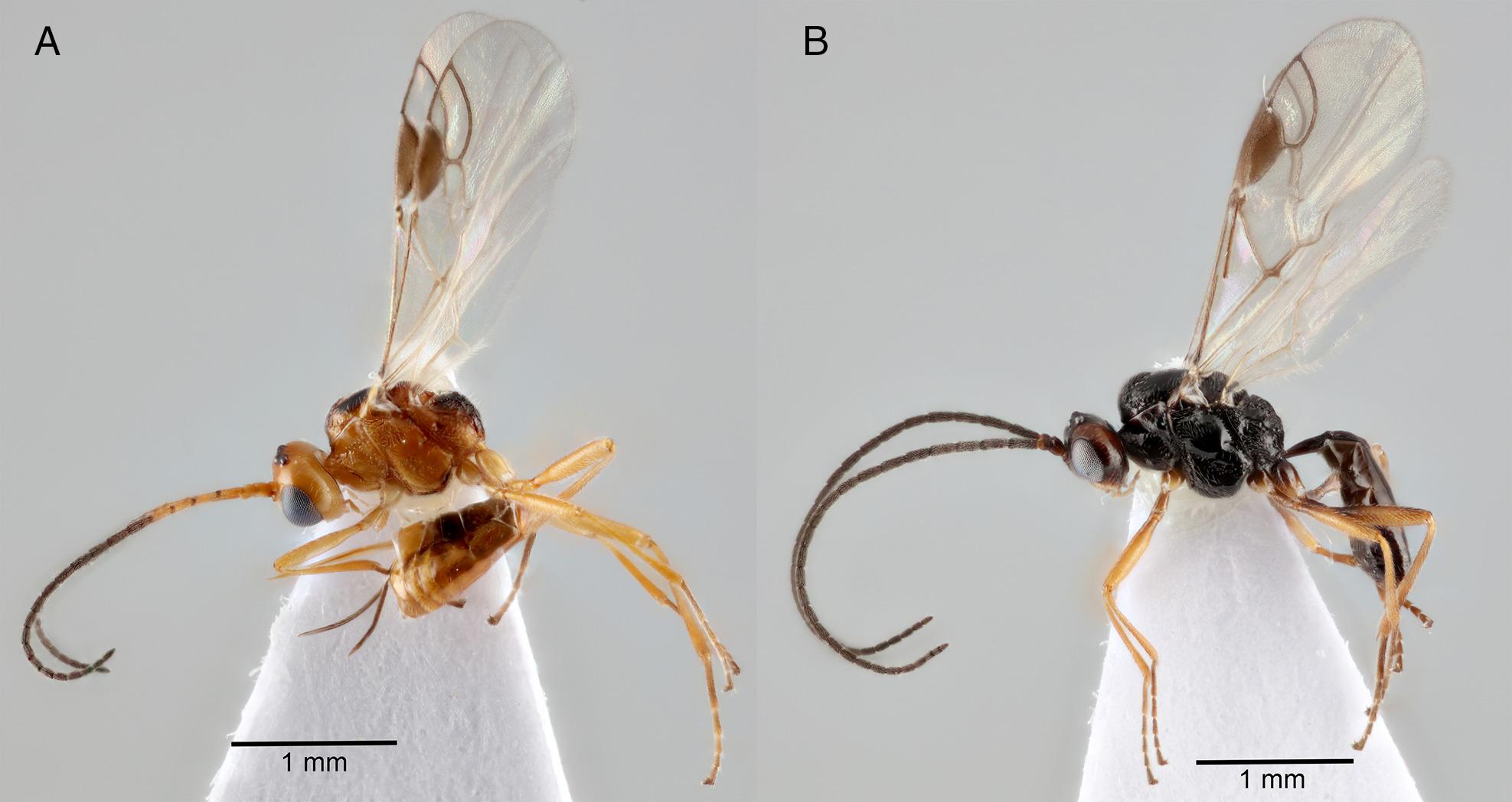 darázs darázs parazita gyomor rossz lehelet