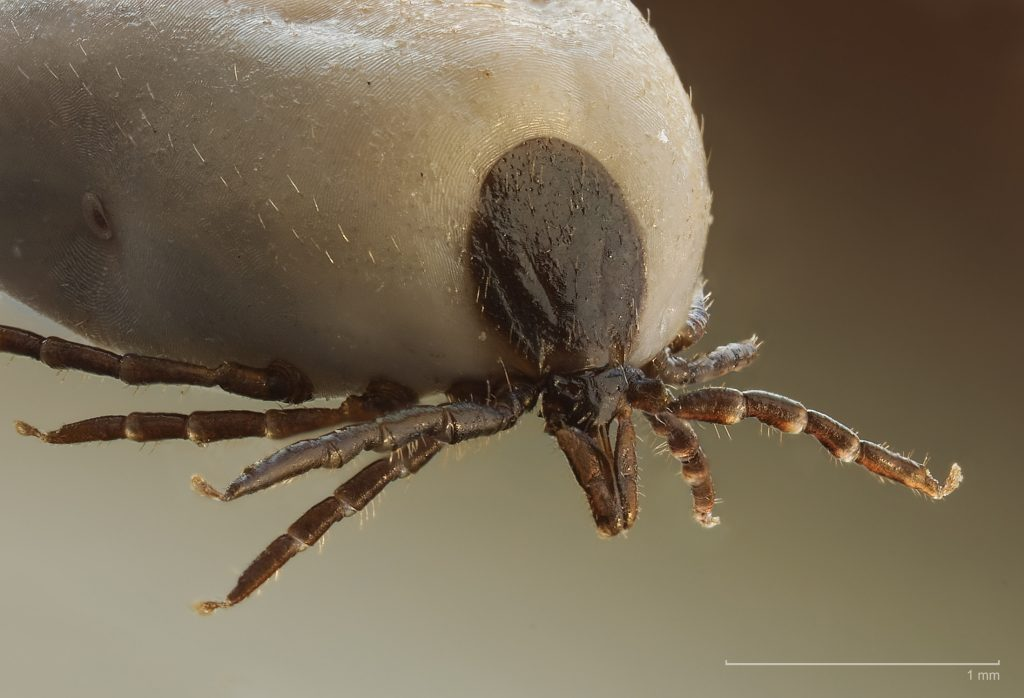 pinworm- szerű paraziták
