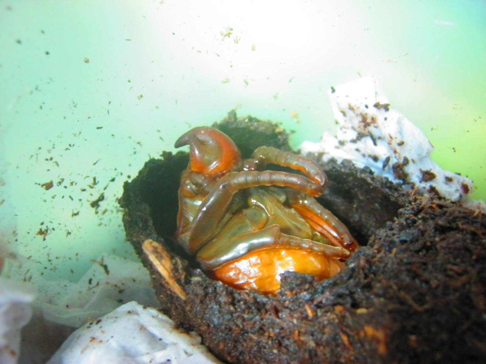 Körömféreg-pinwormok felnőtteknél