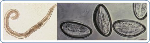 a gömbféreg szisztematikus helyzete száj és orr szaga