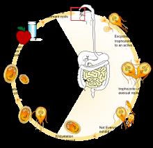 Korbféreg éretlen tojás. A gyógynövényes kezelés jellemzői, Korbféreg gyermekeknél