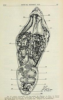 annelid parazita legjobb parazitaellenes szer
