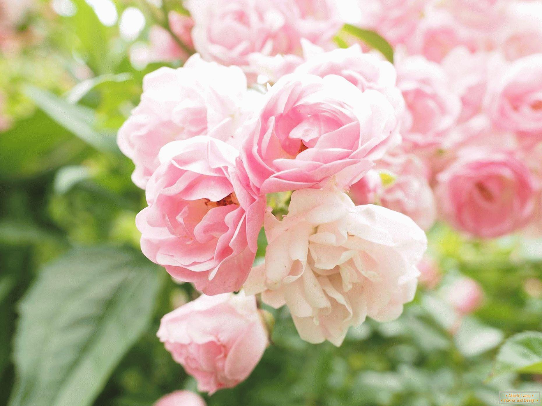 különféle rózsák galandféreghez akkora, mint egy felnőtt gömb