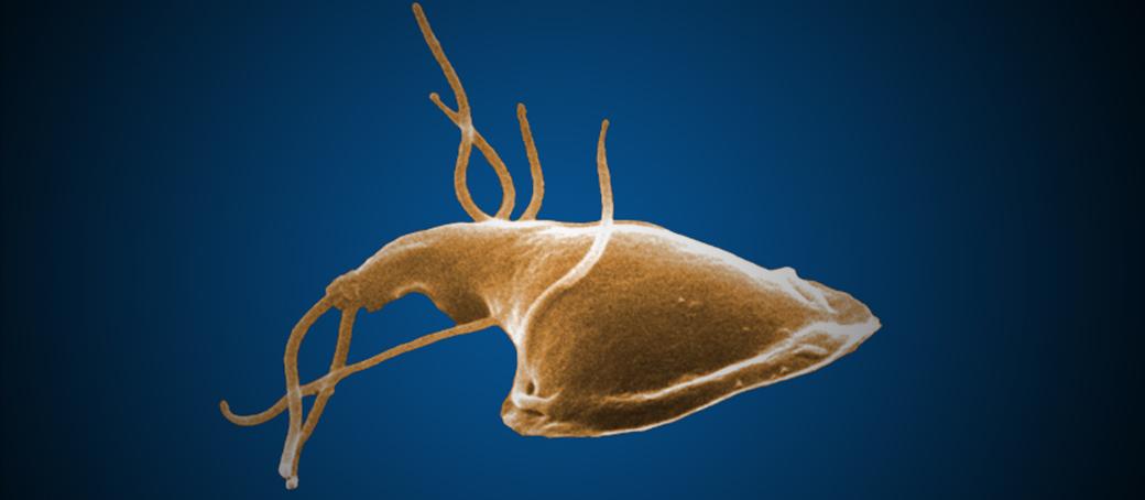 Helminth tojások és protozoai ciszták. Féreg tojás a méz