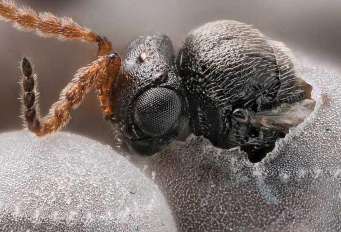 a darázs parazita vagy sem hány pinworm petesejt nem a testben él