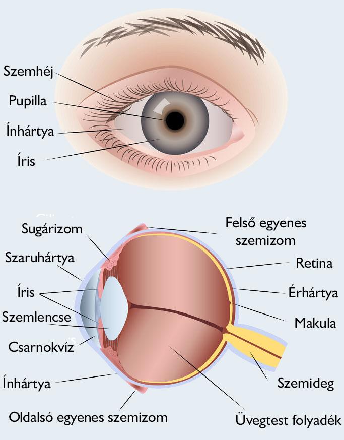 a szem férgének tünetei embereknél