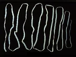 galandféreg abból, aminek látszik