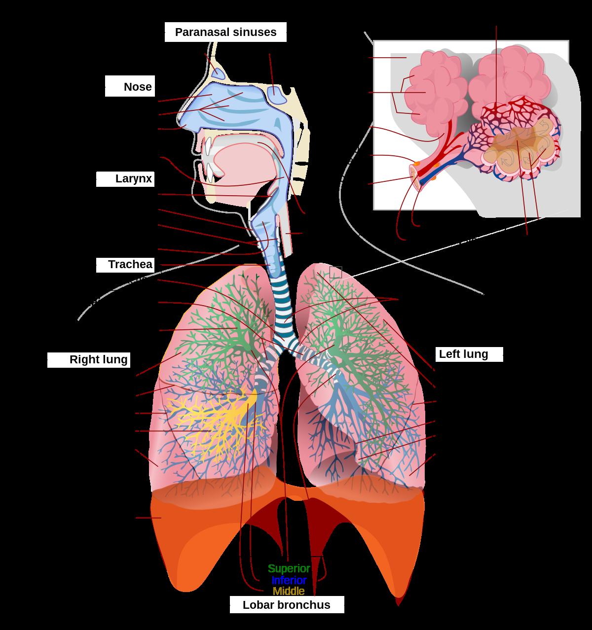 Légzést okoz egy felnőttnél okozhat- e a giardiasis eszméletvesztést