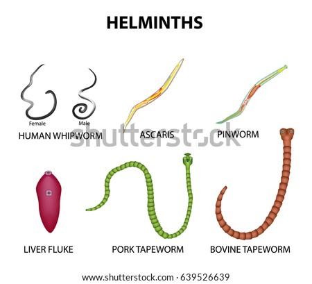 Ascaris pinworms, Ascaris tojás a székletben