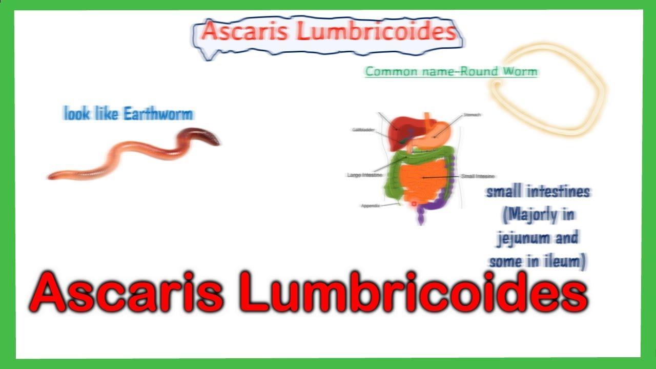 Ascaris emberi test felépítése