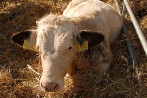 a szarvasmarha galandféreg kezelésének megelőzése