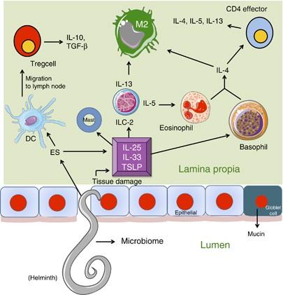 az ascariasis a helminthiasis