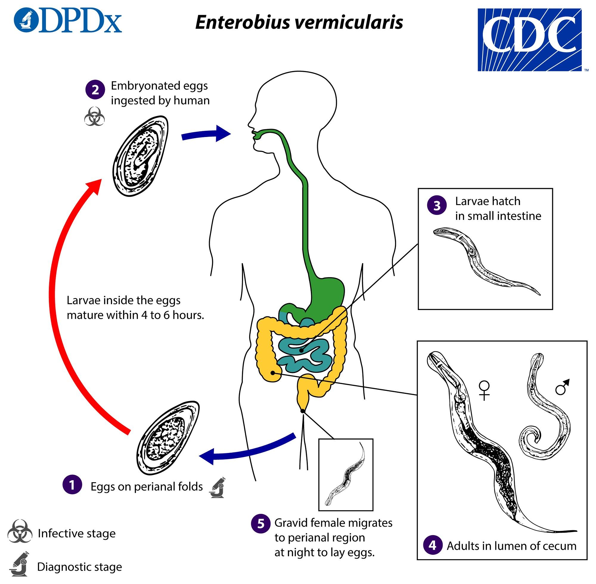 az enterobiasis fertőző hány helminthiasis kezelésére kerül sor