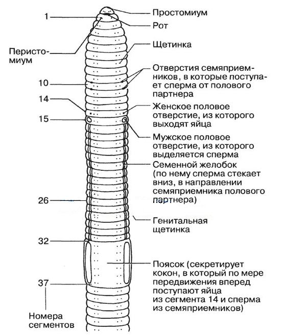 pinworms prosztata