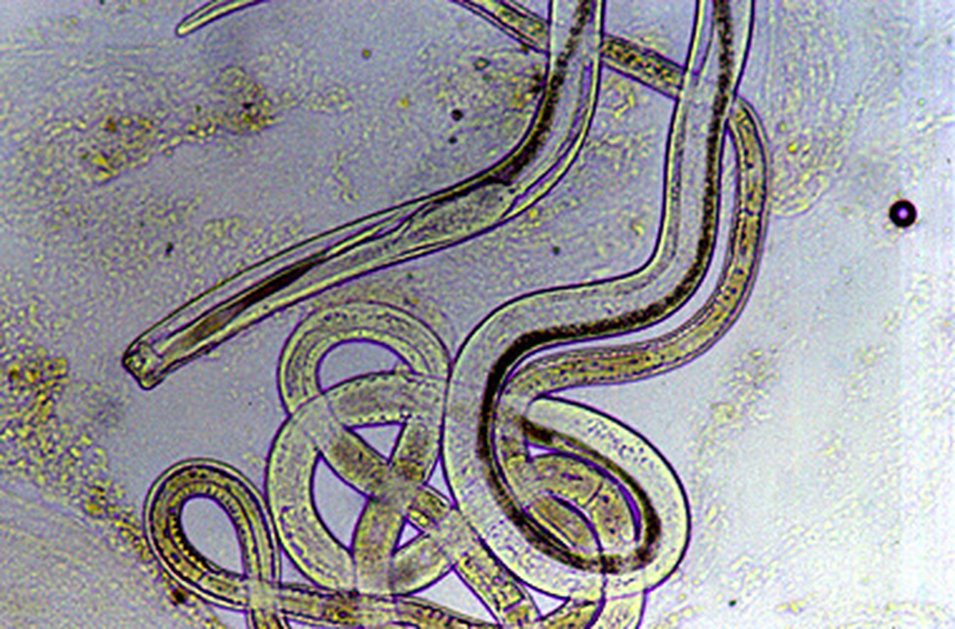pinworm probléma