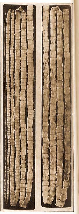 emberi galandféreg hossza