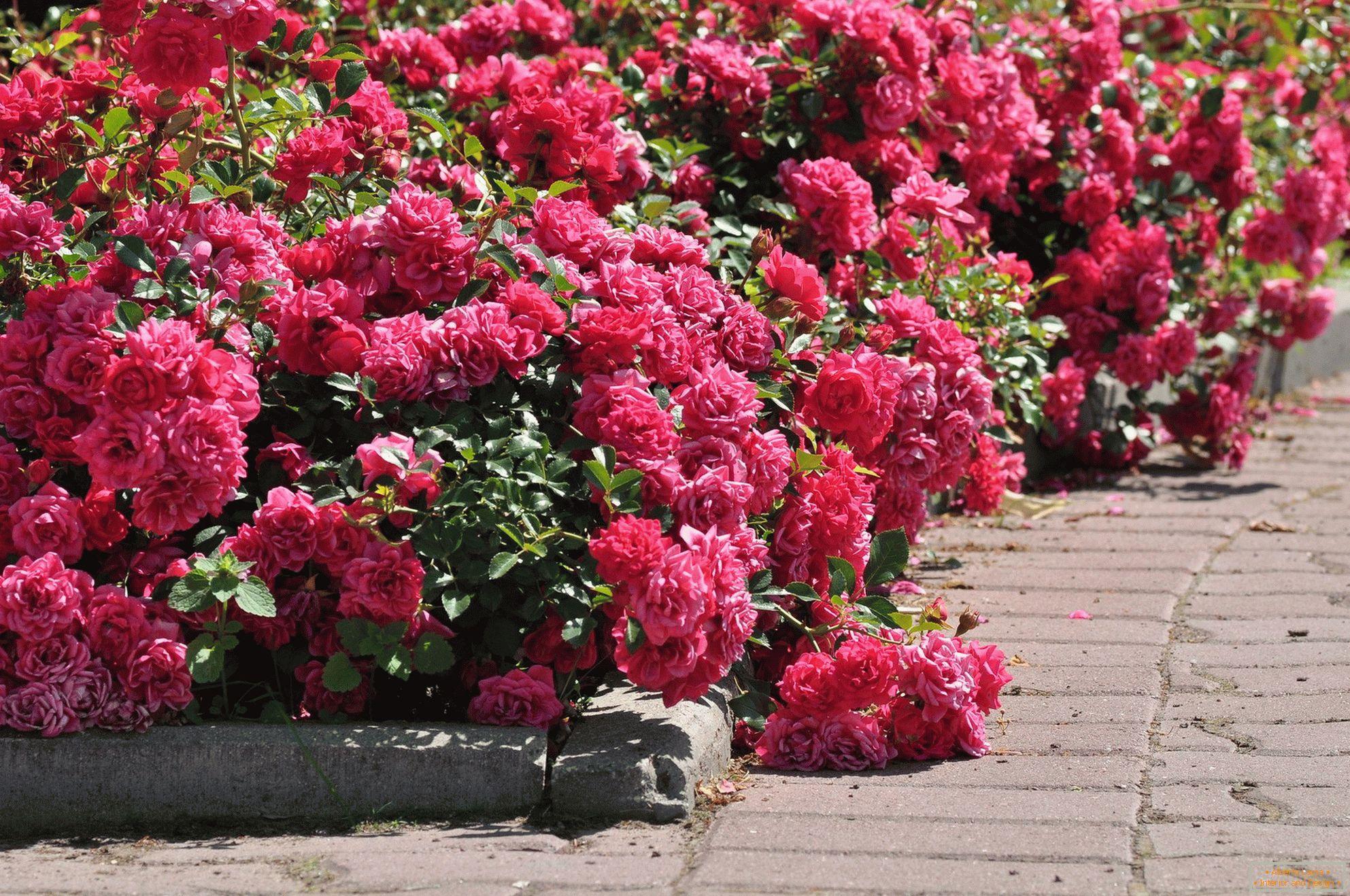 különféle rózsák galandféreghez a test paraziták elleni megelőzése