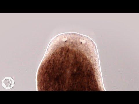 Bika szalagféreg állattan, Felnőtt bika szalagféreg, Szalag helmintos kezelés