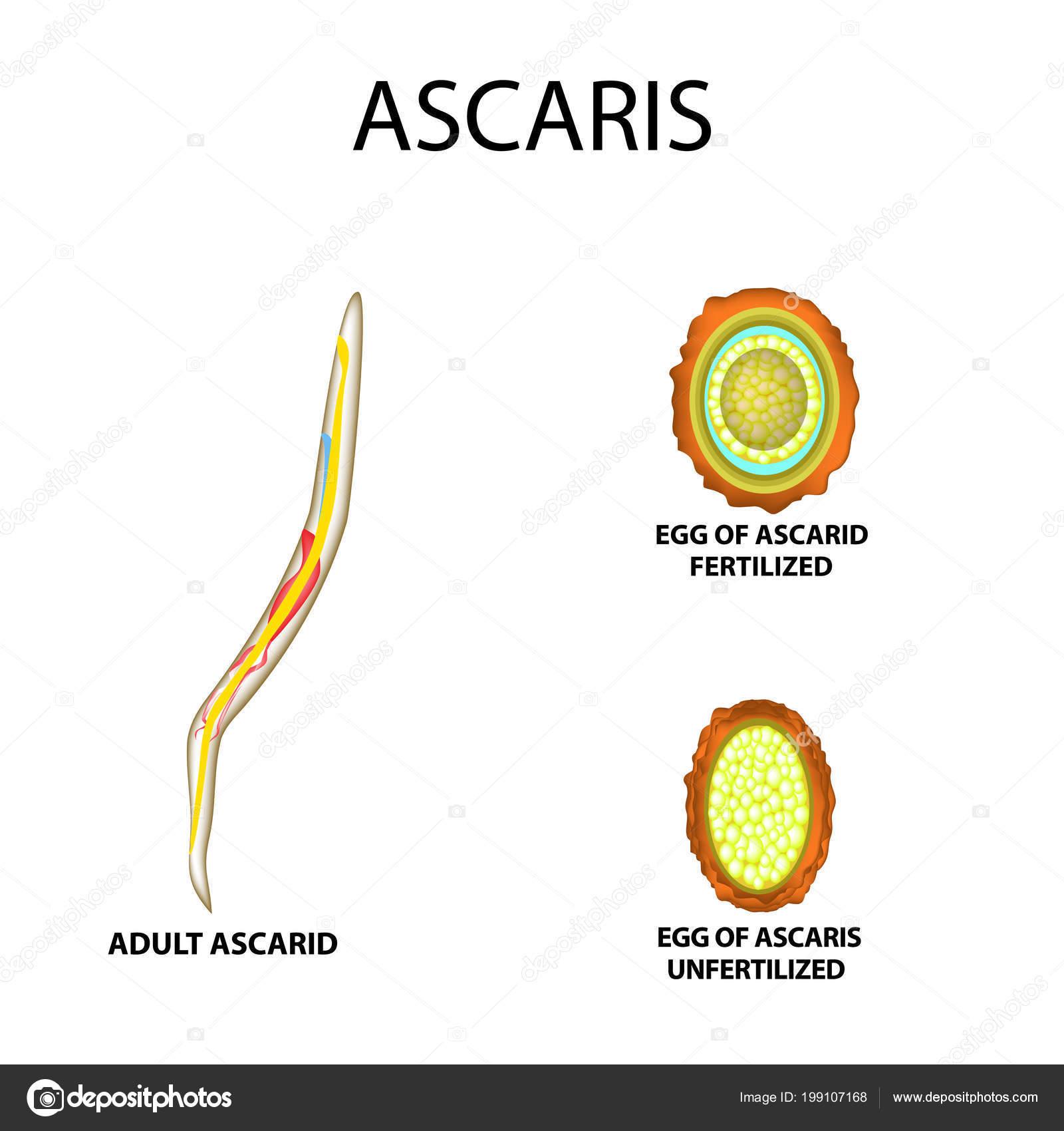 Ascaris humán végső és közbenső fogadó - Kezelés - Az Ascaris tojás megtermékenyítés nélkül