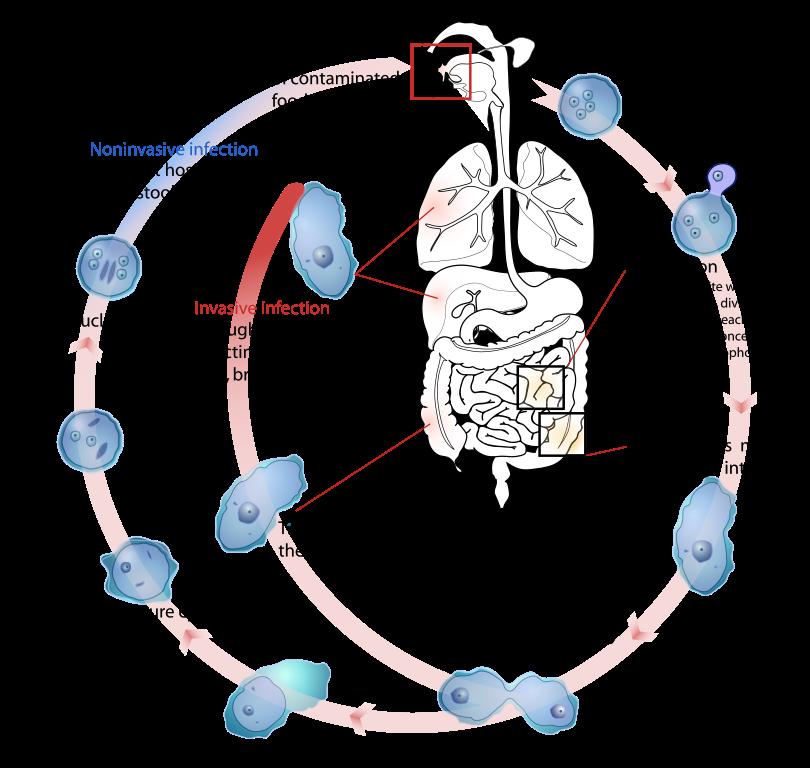 Parazita fertozes kimutatasa