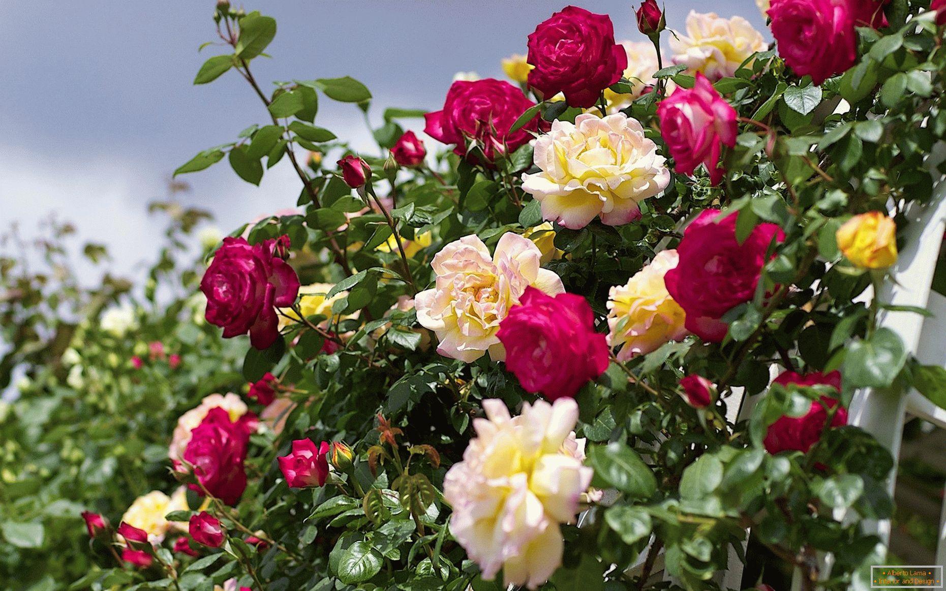 különféle rózsák galandféreghez paraziták a darázsokon