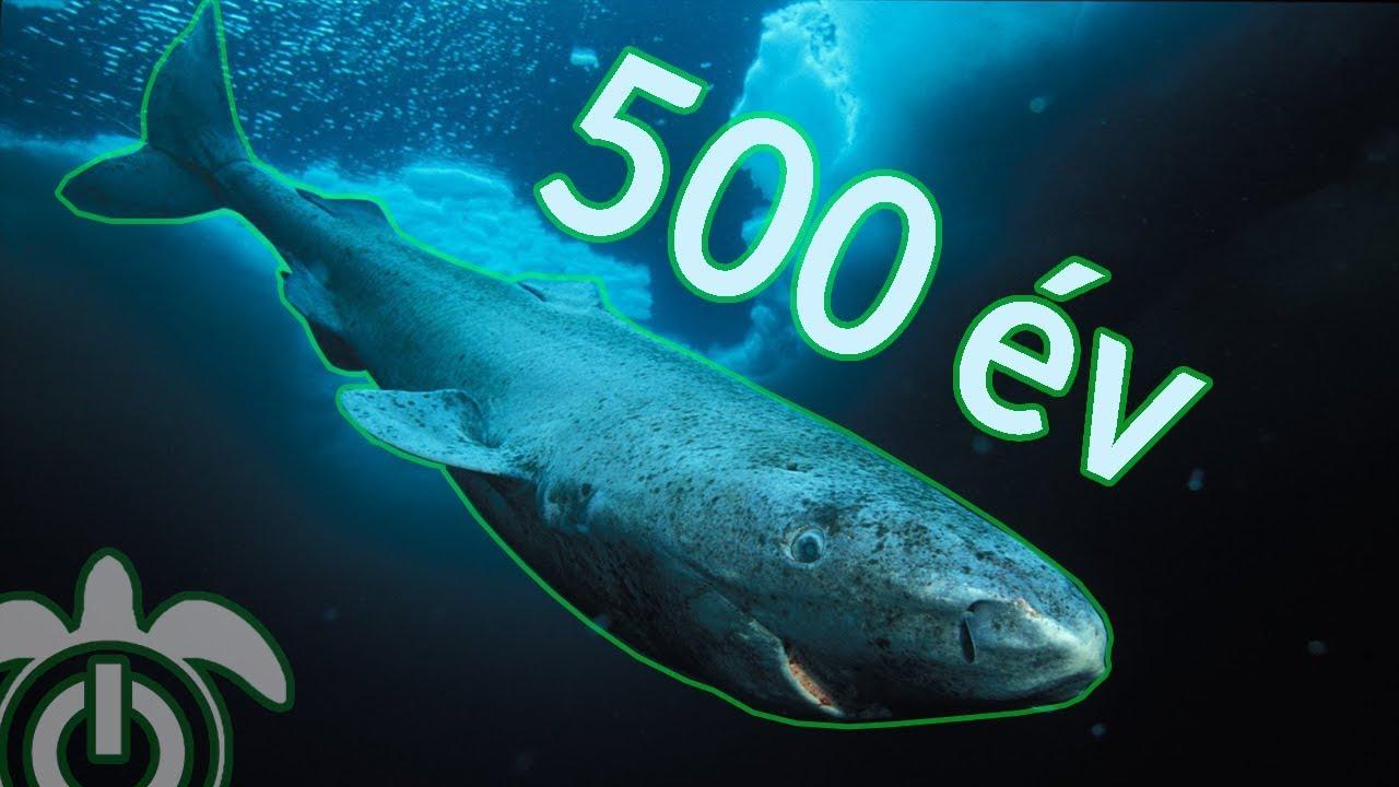 Férgek a navagában. Sáfrányhal