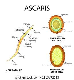 Az Ascaris tojás megtermékenyítés nélkül - Féregtelenito tabletta beadasa
