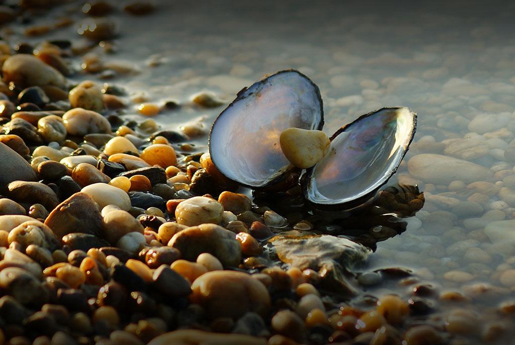 folyami kagyló paraziták