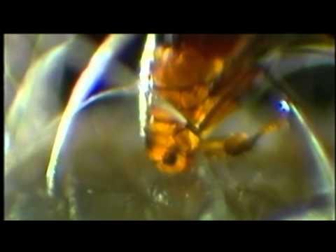Pinwormák elleni gyógyszerek