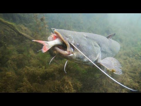 harcsa férgek ciprolet és paraziták