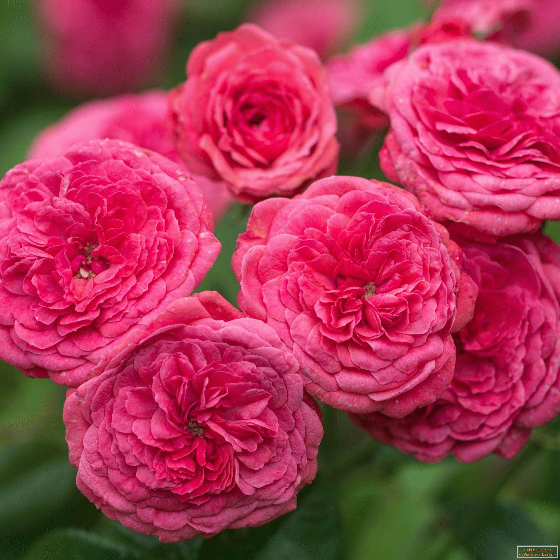 különféle rózsák galandféreghez állandó parazita az