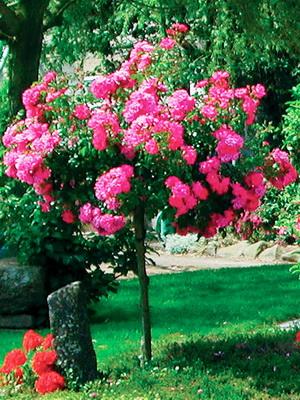 füvek, selloana, dísznövény, minta növény, pasziánsz fű, fű, növény, természet, kert